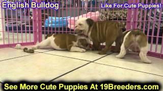 English Bulldog, Puppies, For, Sale, In, Portland, Oregon, Or, Mcminnville, Oregon City, Grants Pass