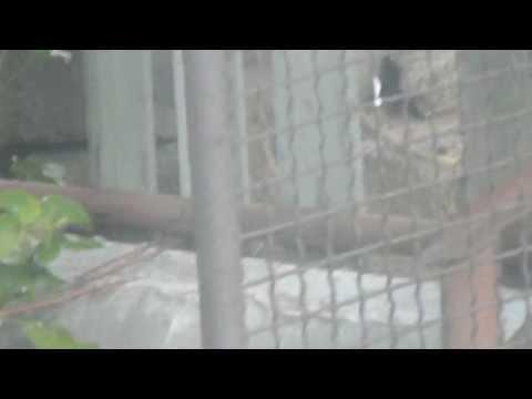 Вся правда о чупакабре!!! Реальное видео1