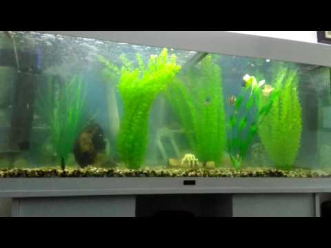 Piranha With More Tank Mates, Angel Fish Tiger Barbs And Convict Cichlids..