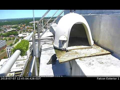 Peregrine Falcon Family at Union County Courthouse
