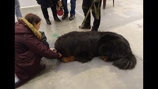 Тибетский мастиф - источник правильной энергии