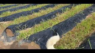 농장을 잘지키는 둘삼이 (진돗개 둘삼이.)