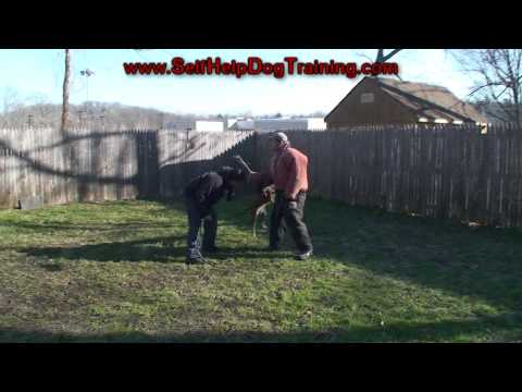 How to Train a Protection Dog to Hit Hard (K9-1.com)