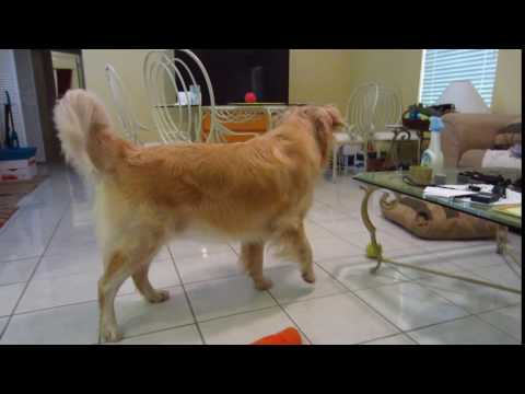 Golden Retriever Playing With His Frisky Foster Kittens - 6 Weeks Old