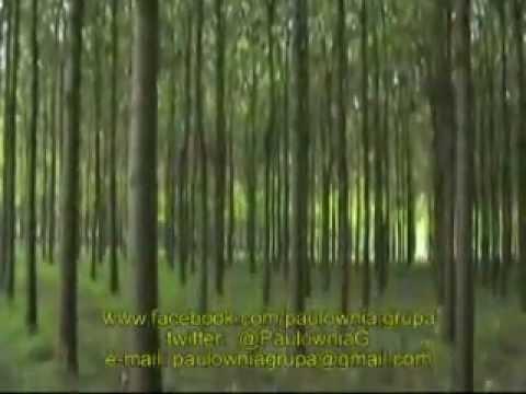 PAULOWNIA - najbrže rastuće drvo - drvo budučnosti