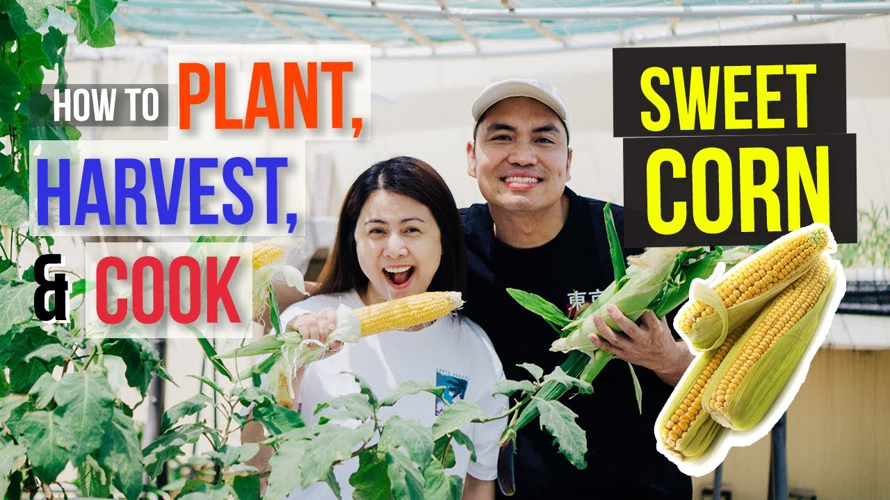 HOW TO PLANT SWEET CORN (Harvest and Cook, and Enjoy It Too!)