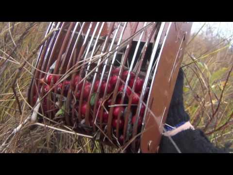 Сибирь.  Сбор ягоды молодости, красоты и здоровья клюквы. без регистрации и смс