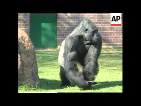 SOUTH AFRICA: ZOO GORILLA SHOOTING: SUSPECT APPEARS IN COURT