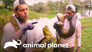 Frank encuentra una anaconda verde | Wild Frank | Animal Planet