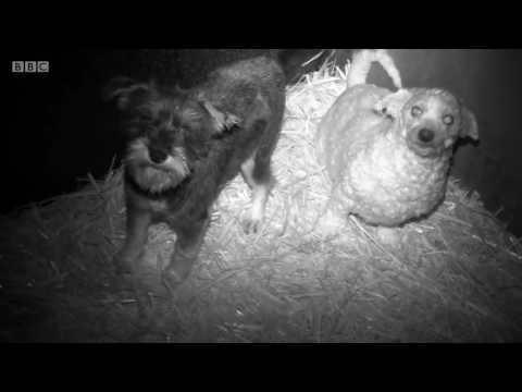 Panorama (Documentary) - Britain's Puppy Dealers Exposed