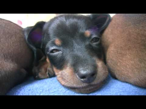 Dachshund - Cute 6 Week Old Puppies