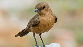 Bird Call or Song of Indian Chat or Brown Rock Chat