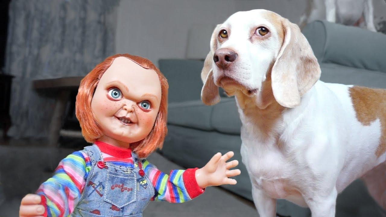 Dogs Vs Lil Big Chucky Prank Funny Dogs Maymo Penny Amp Potpie Youtube