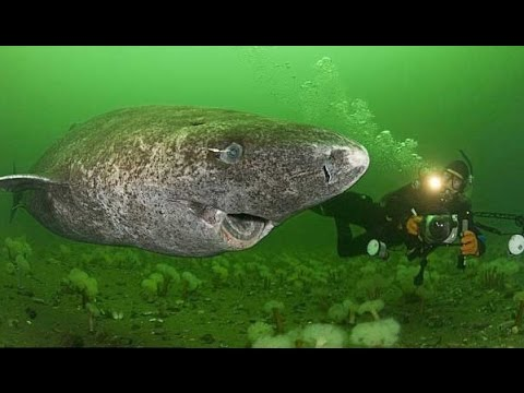 EL VERTEBRADO MAS VIEJO DEL MUNDO. Tiburón de Groenlandia - YouTube