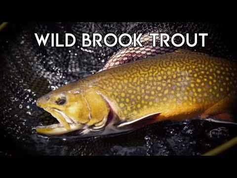 Wild Brook Trout Nagagami Lake | Ontario