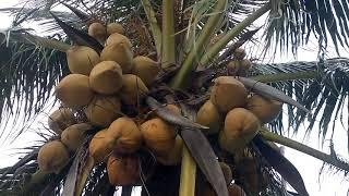 Gambar cover Hương vị của những giống dừa xiêm lửa mà các bạn chưa biết đến