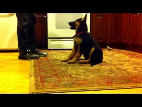 9 weeks old german shepherd doing tricks