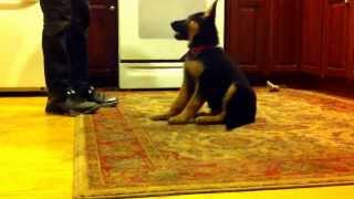 9 Weeks Old German Shepherd Doing Tricks