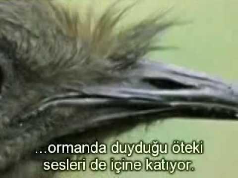 TAKLITCI KUS , BIRD BY TEAM , NACH AMER VOGEL.flv