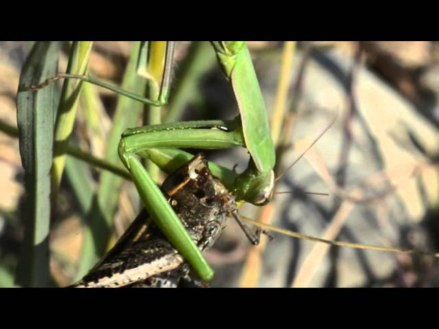 ??? ???? ???? (????) ??? ???? ???? ??????? - Praying Mantis eats locust and cockroach