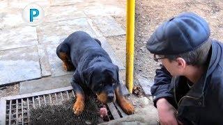 Ротвейлер и пищевая агрессия  Rottweiler and food aggression