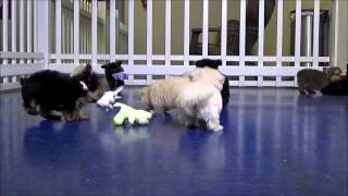Hypoallergenic Puppies Playing