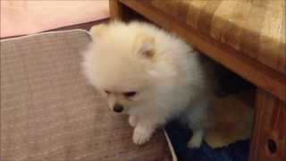 ライムがおうちにやってきた日。The first day for a dog comes to our home.