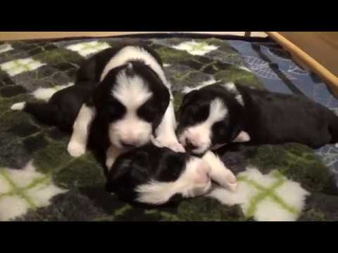 Bearded Collie puppies - 15 to 17 days old