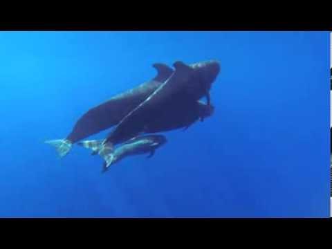 Pilot Whale Sounds