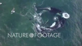 Drone captures aerial footage of killer whales on the hunt!