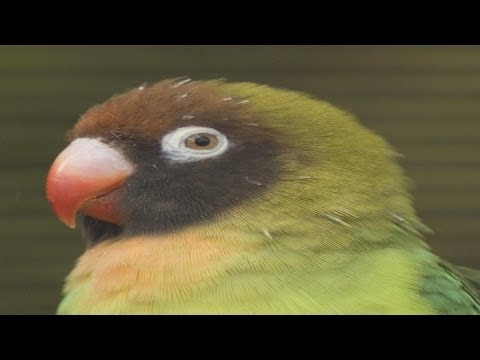 The 9 SPECIES of LOVEBIRDS ordered by EXTINCTION