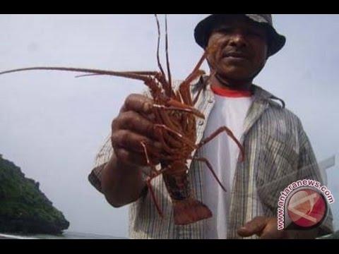 berburu-lobster-di-pantai-bantol-malang