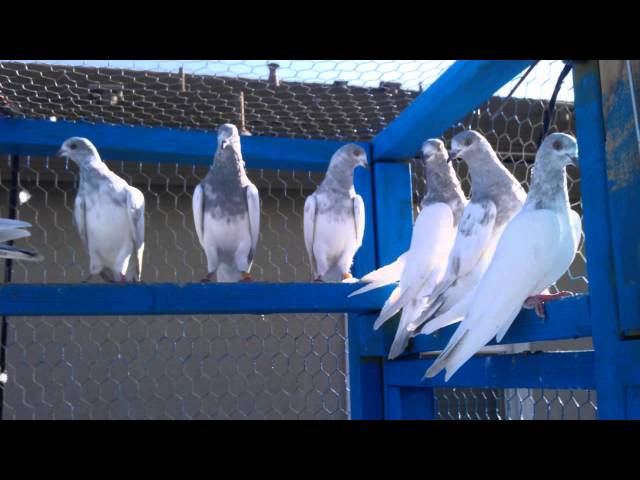 Pakistani Pigeons in CA USA 2013 Travel Video