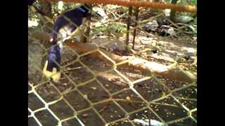 Monkey Stealing Bait from Peccary Trap