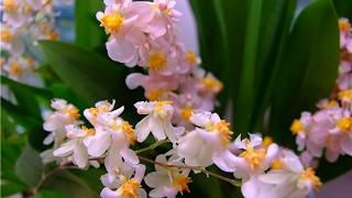 видео Почему орхидея не цветёт . Причина #5. Удобрение орхидей.