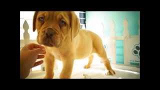 Dogue De Bordeaux Puppies For Sale!