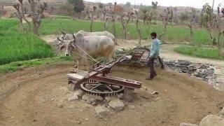 Ox-drawn water wheel, Rajasthan, India