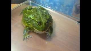 Pyxicephalus adspersus (африканская лягушка-бык /African Bullfrog )