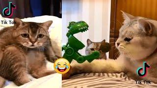 Tahan Tawa 2 Menit aksi Kucing Lucu Bikin Ketawa Ngakak