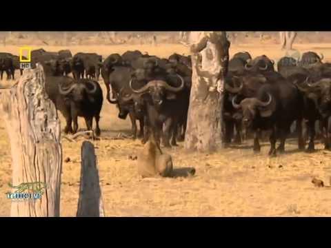 Sư tử - Kẻ săn mồi khét tiếng - Thiên nhiên hoang dã Châu Phi full HD Thuyết minh