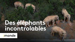 Une famille d'éléphants traverse la Chine