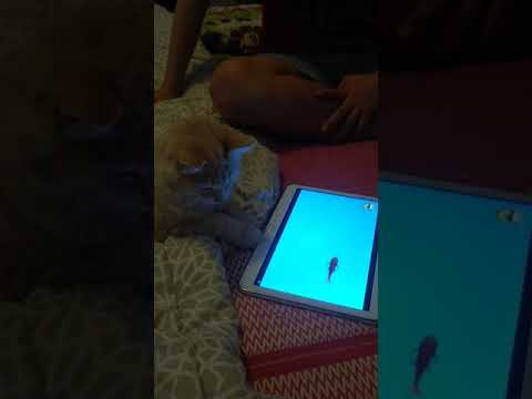 Lily CAT playing with tablet
