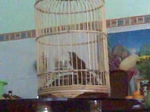 chim tiểu mi subin hót.mp4