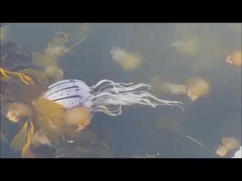 Jellies And The Food Chain