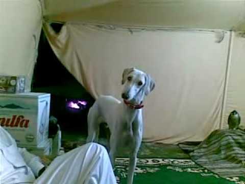 funny sloughi dog السلق العجيب