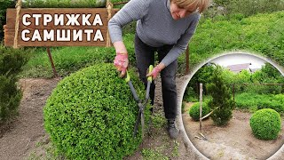 Как подстричь самшит в форме шара - стрижка хвойных растений весной