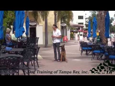 Dog Training Tampa Advanced off leash demo in the city