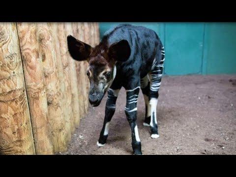 Newborn Okapi Named in Honor of Meghan Markle