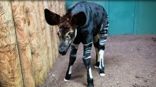 Newborn Okapi Named in Honor of Meghan Markle