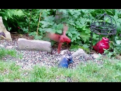 Rare Cardinal Attacks Blue Jay Youtube